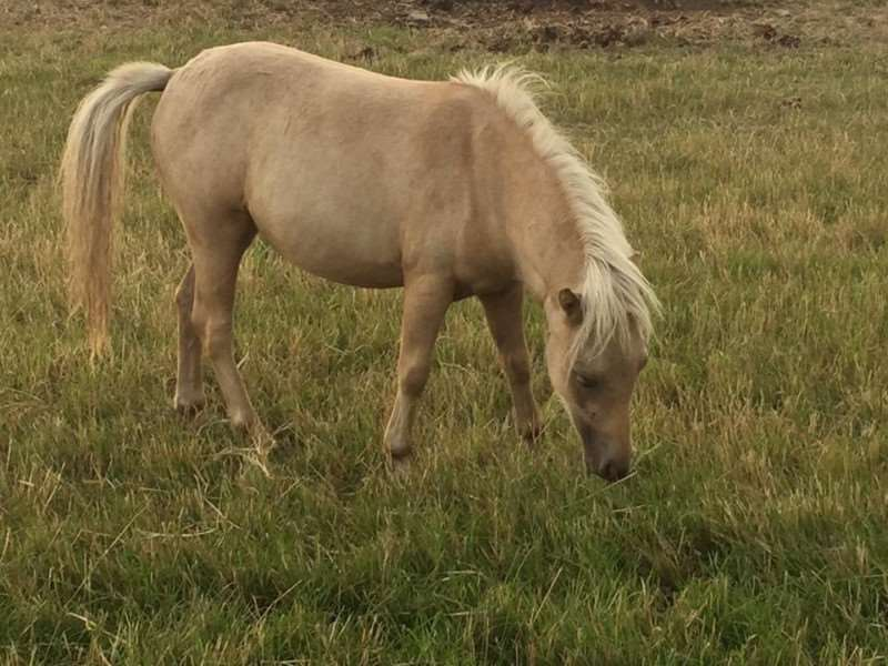 Barbie a yearling palomino is only stolen horse still missing.