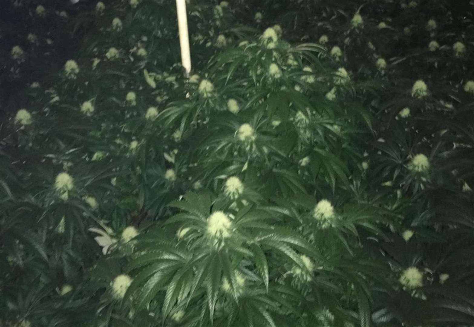 Huge cannabis factory uncovered in Fenland village
