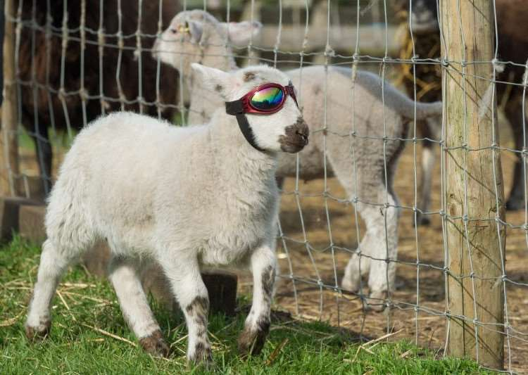 Flash the lamb strutting his stuff in his sunglasses