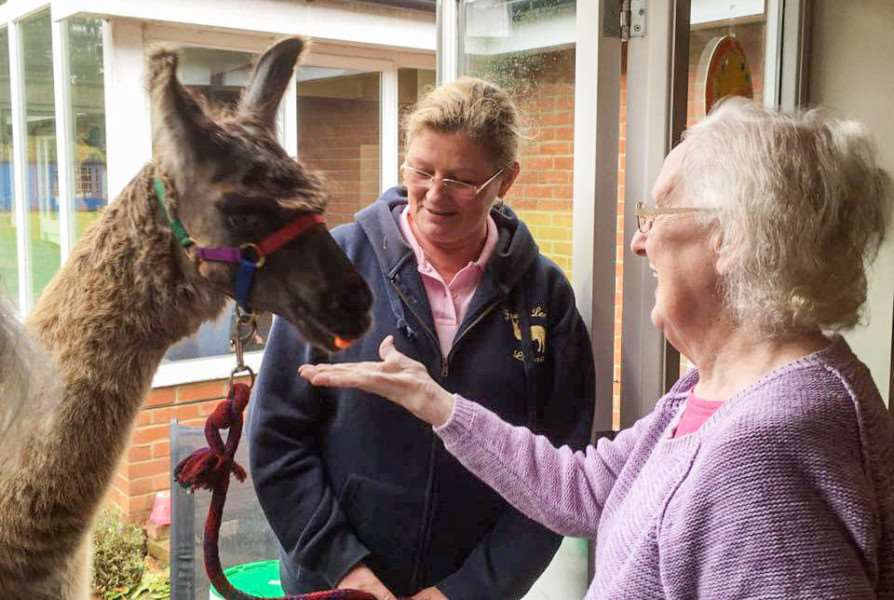 lLlamas paid a visit to Lyncroft care home in Wisbech.