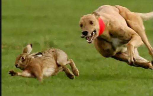 Police ask for public's help to combat illegal blood sport of hare coursing.