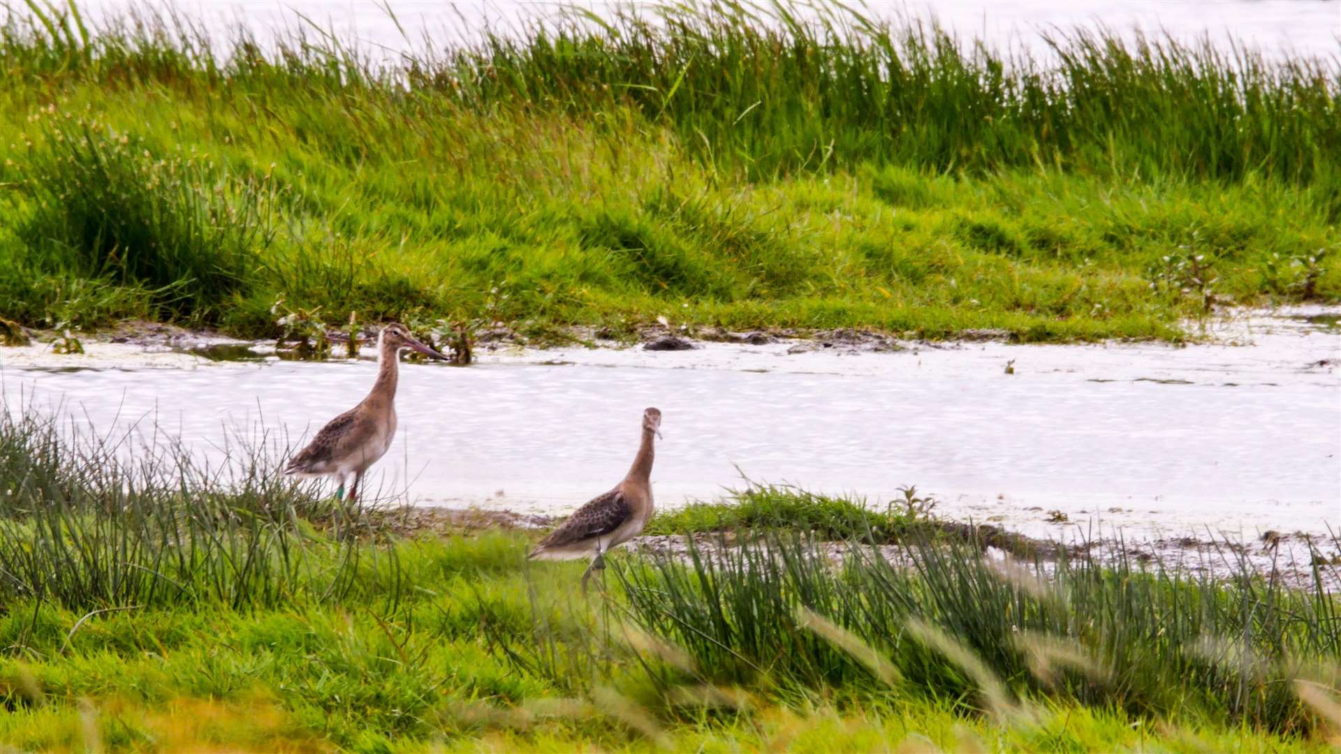 Operation Godwit has seen 21 fledglings released into the Cambridgeshire Fens. (2650675)