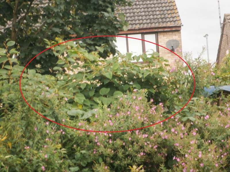 Knotweed has been spotted around Wisbech including on land at the back of Prince of Wales Close.