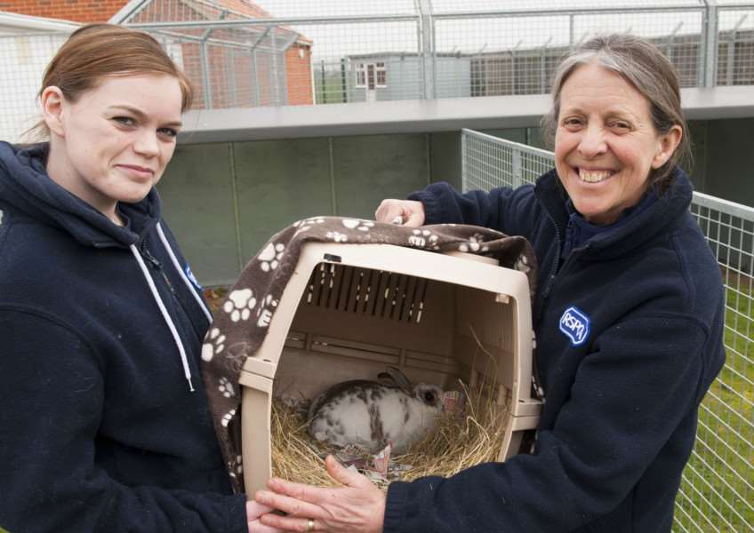 West Norfolk RSPCA Rehoming Centre with Fliss the stray rabbit found saturday along with some other rabbits. FltoR Emily Toms. Penny Skate. RSPCA ( Manager ) ANL-160323-163924009