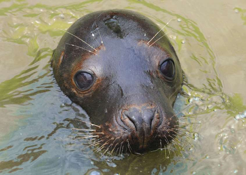 RSPCA Hospital East Winch Open Day preview of event'A 6 month old seal at the centre ANL-150606-095009009