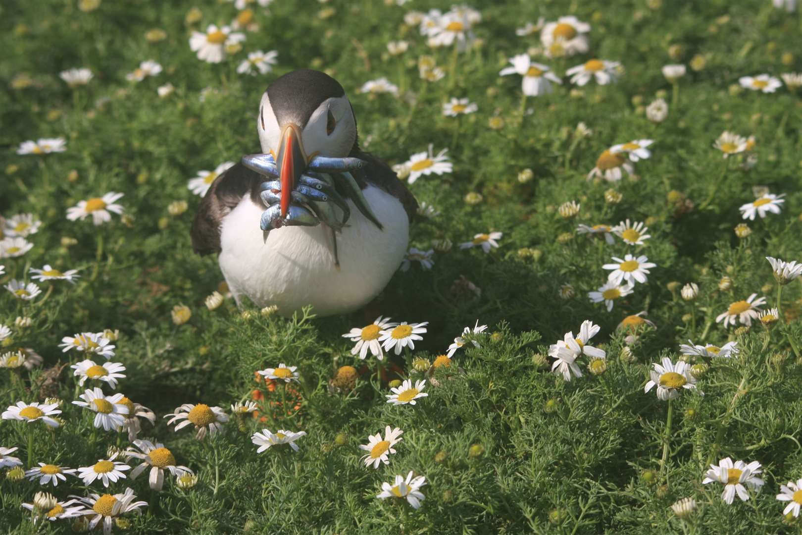 A puffin, one of the animals UK Wildlife Warriors are focusing their efforts on. Photo by Chloe Bench (43706084)