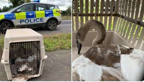 "Swan captured by police in ""Hot Fuzz"" style capture on A47 (17689214)"
