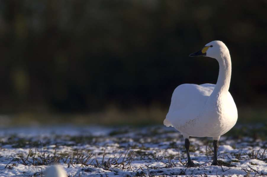 A Bewick Swan pictured in the snows of 2012 at Welney