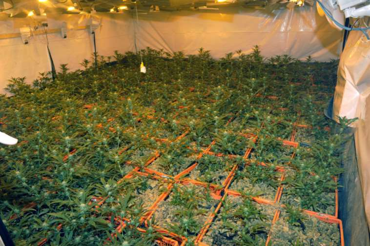 Cannabis plants that have been found at Wendrea House Wimblington Rd March ANL-150128-145749009