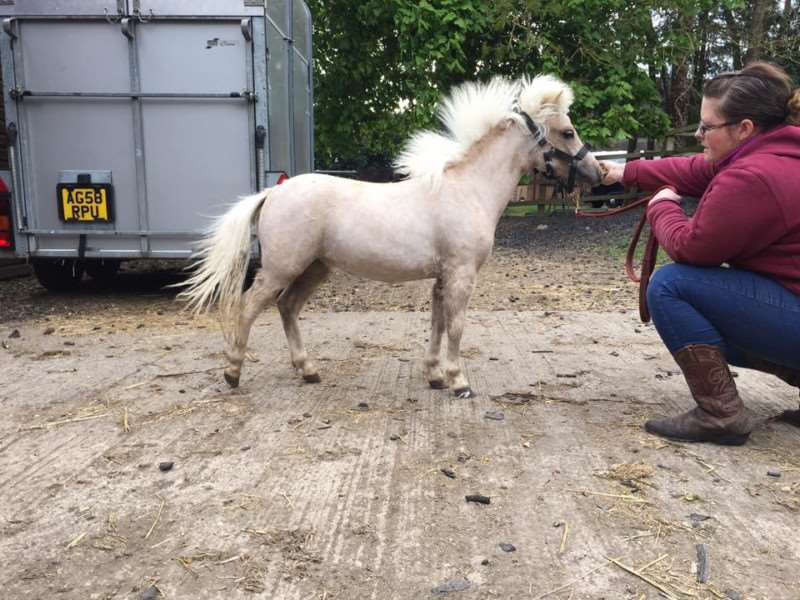 Jo Everett with Barbie her stolen palomino miniature horse who is still missing - now Jo has launched a petition to get action on rural crime.