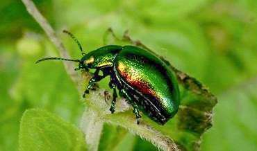 The rare Tansy beetle has been found at Welney. (4180626)