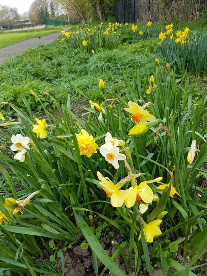 The daffodils went untouched last spring - but were newly planted and were not so abundant as this year's blooms. Picture: Alan Wheeldon.