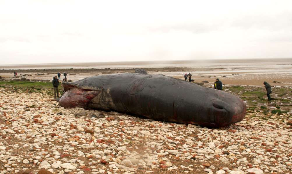 Latest images of Whale on Huntstanton beach. ANL-160126-211650009