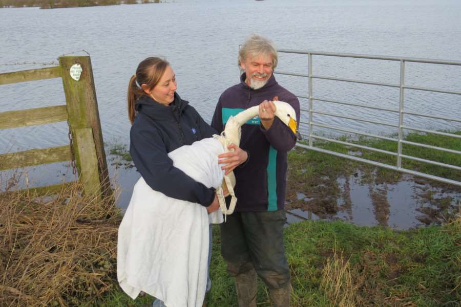 RSPCA wildlife assistant Louise Jones and WWT Stockman Shaun O'Driscoll about to release the swan CREDIT Emma Brand/WWT ANL-160120-155920001